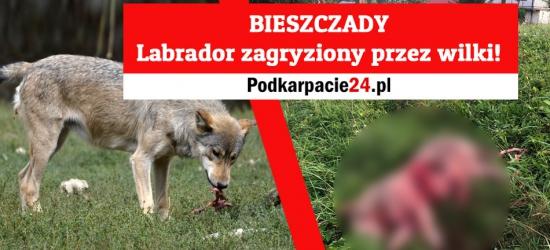 Atak wilków na labradora w Terce. Właściciel wzywa do dyskusji na temat populacji wilków w Bieszczadach (DRASTYCZNE ZDJĘCIA)