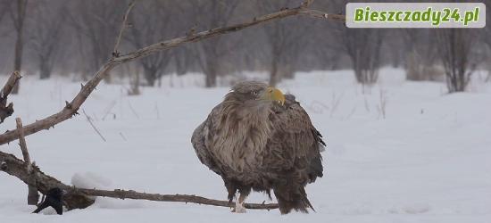 BIESZCZADY: Niesamowite nagranie video z bieszczadzkiego lasu. Żerujący orzeł bielik (FILM)