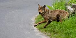 Surowe kary dla myśliwych za zabicie i oskórowanie wilczycy. Zapadły prawomocne wyroki