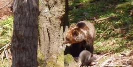 Uwaga! Niedźwiedzie! Dwukrotnie zaatakowały w Birczy, wcześniej w Bieszczadach (ZDJĘCIE)