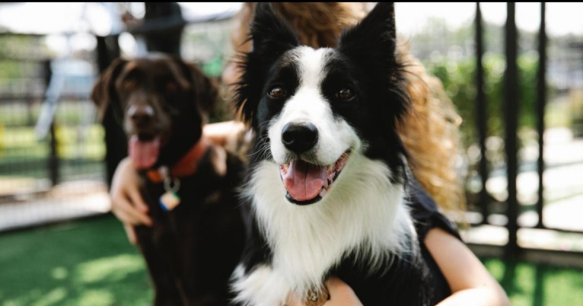 Border collie – o jakich zasadach odżywiania psa powinniśmy pamiętać?