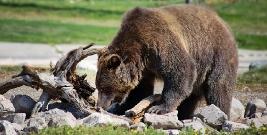 Populacja niedźwiedzia brunatnego rośnie. APEL DO MIESZKAŃCÓW!