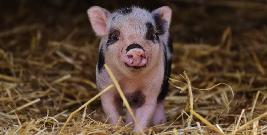Afrykański pomór świń zagraża podkarpackim hodowlom?