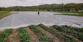 Zimni ogrodnicy przyszli wcześniej z wizytą. Spore straty w uprawach. Truskawki z bitą śmietaną będą rarytasem? (ZDJĘCIA)